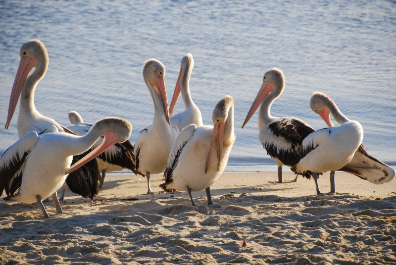 Pelicans in the morning.