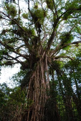 Strangler fig tree.
