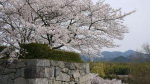 Tamba Sasayama Cherry Blossom Festival/ Hyogo @ Sasayama castle | Sasayama-shi | Hyōgo-ken | Japan