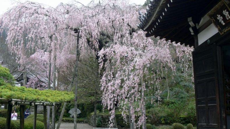 yoshimine-dera-cherry-tree