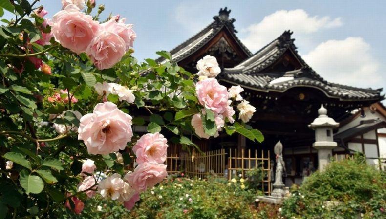ofusa kannon rose