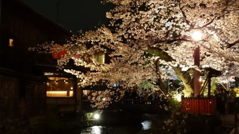 shirakawa cherry lit up