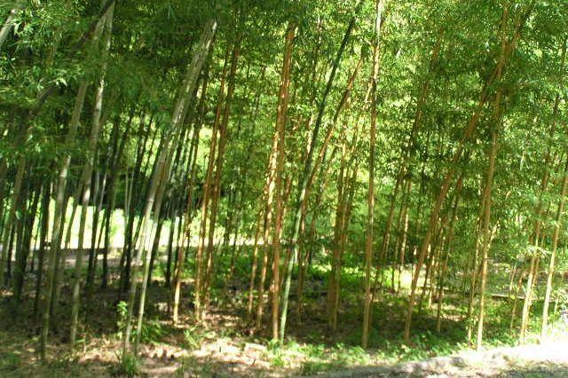 kyoto botanic garden bamboo