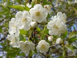 2010-04-11 ND morgens 053 Wildkirschblüten