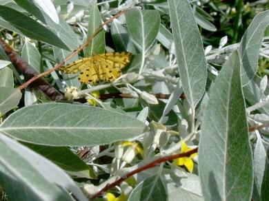 22052008 ND Umg Ölweide & Pantherspanner o. Gelber Fleckenspanner (Pseudopanthera macularia) 04