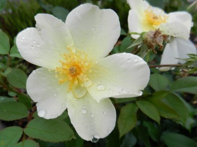 2011-06-07-LchowSss-Garten-095-KewGardensRose.jpg