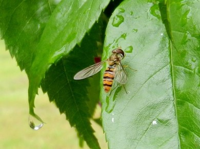 2011-06-07-LchowSss-Garten-128-Schwebfliege.jpg