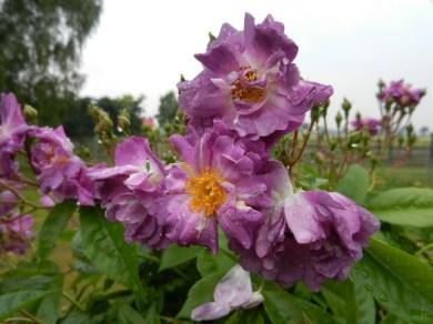 2011-06-07-LchowSss-Garten-129-Veilchenblau.jpg
