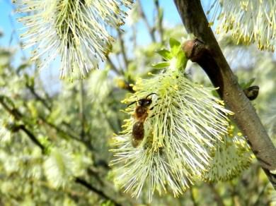 2012-03-26 LüchowSse 050 Weidenkätzchen+Biene