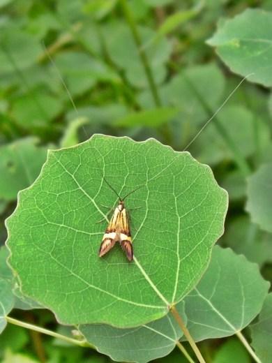 2012-06-13 LüchowSss 02 Langfühlermotte Degeers Langfühler (Nemophora degeerella), Longhorn Moth