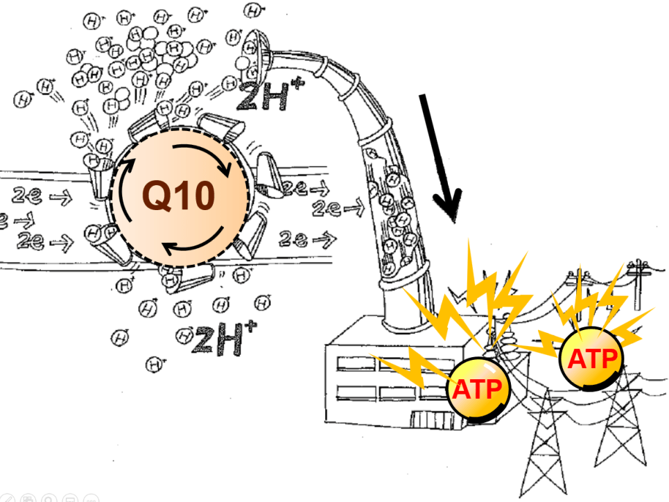 Q10 is central in mitochondrial energy production