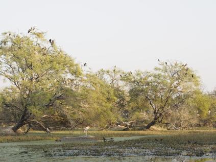 Painted Stork nests, Keoladeo
