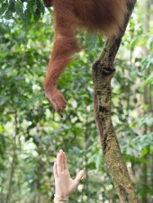 Contact isn't good as humans could infect orangutans. Guides didn't seem to mind. Fortunately they didn't actually touch.