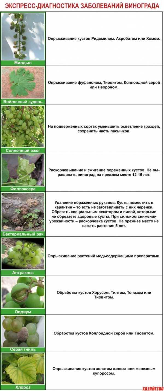 Определитель болезней и вредителей винограда: фото