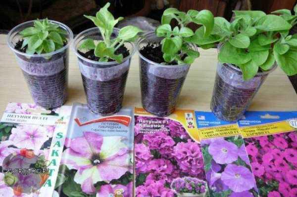 Когда и как лучше посеять петунию. как вырастить рассаду ...