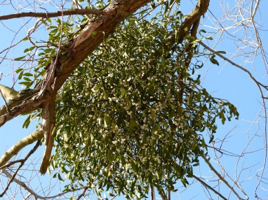 mistletoe-in-tree_tintenfieber