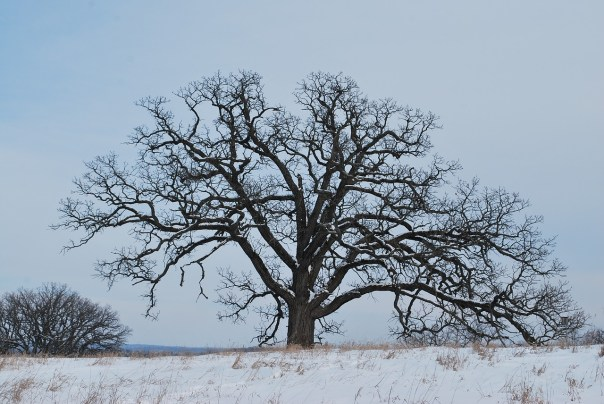 oak-tree-winter_bachy