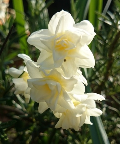 daffodils white double