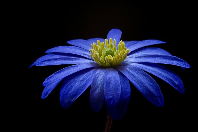 blue anemone flower by Albenheim via pixabay