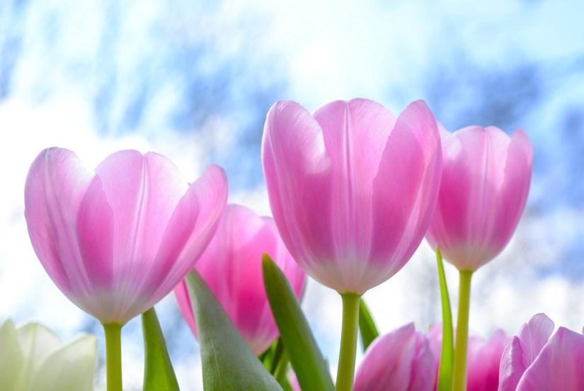 tulips_Skitterphoto