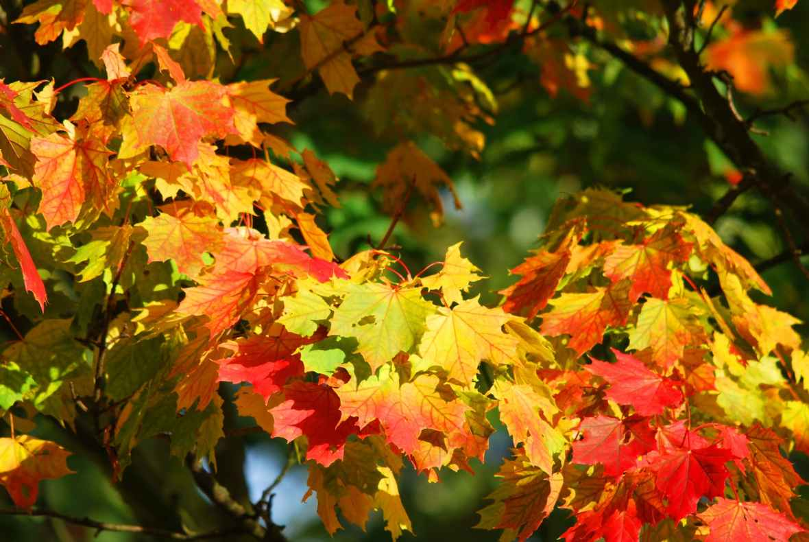 autumn-tree-leaves-red-63614