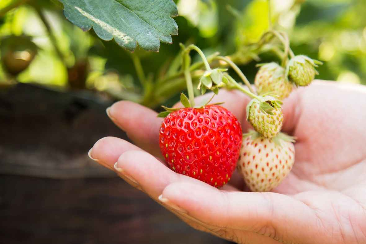 person holding red strawberry