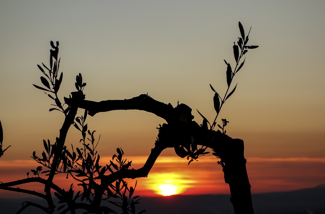 olive tree sunset_TeeFarm