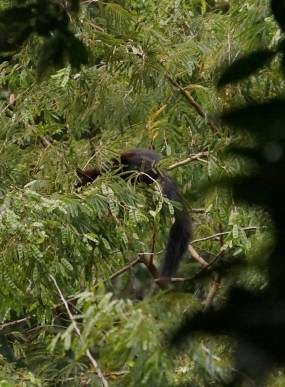 Guy saw this critter and at first we thought it was a monkey. It had an amazingly long tail. Turns out it's a squirrel.