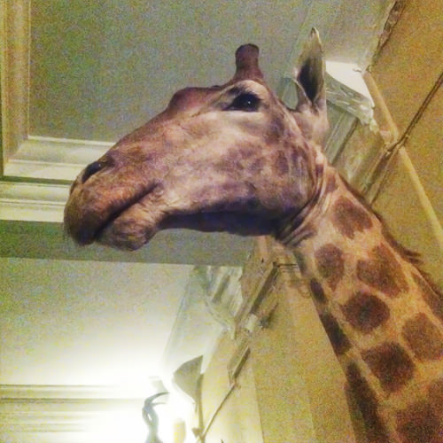 Rand Club giraffe