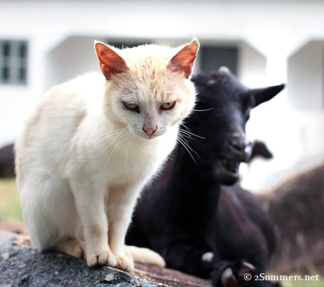 Lighthouse cat and goat