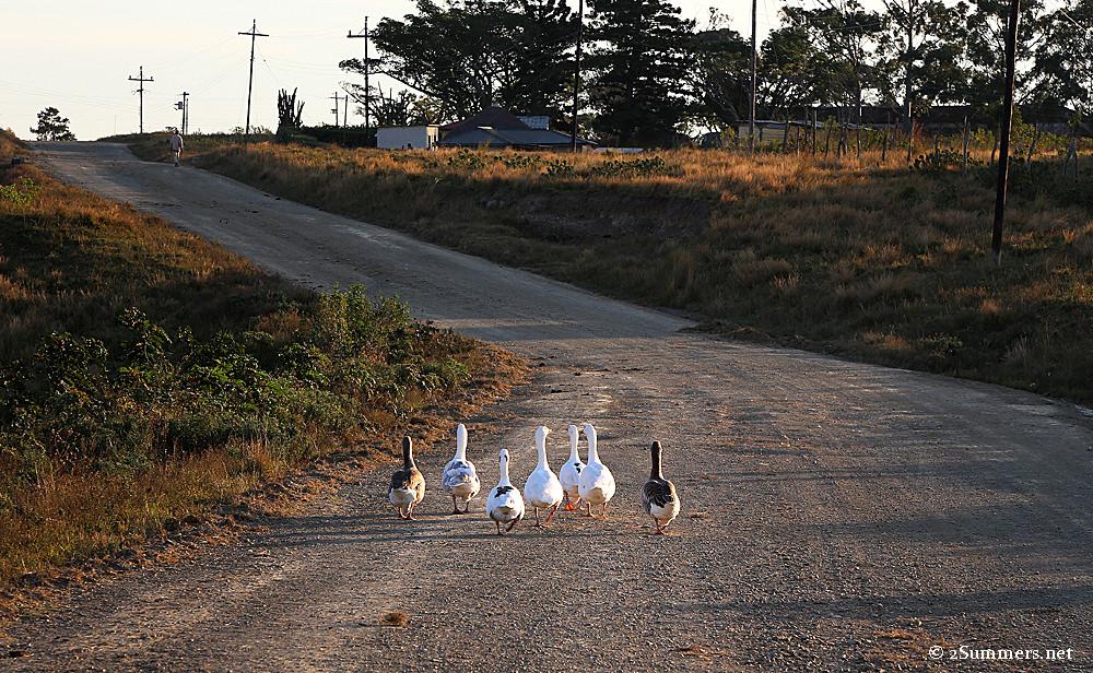 Geese on the Wild Coast