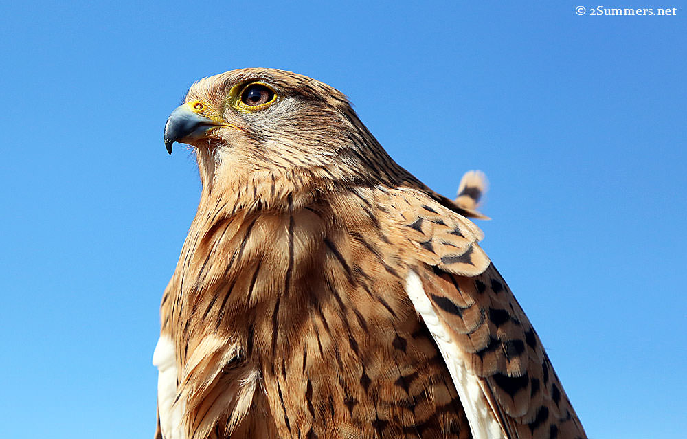Kestrel-closeup