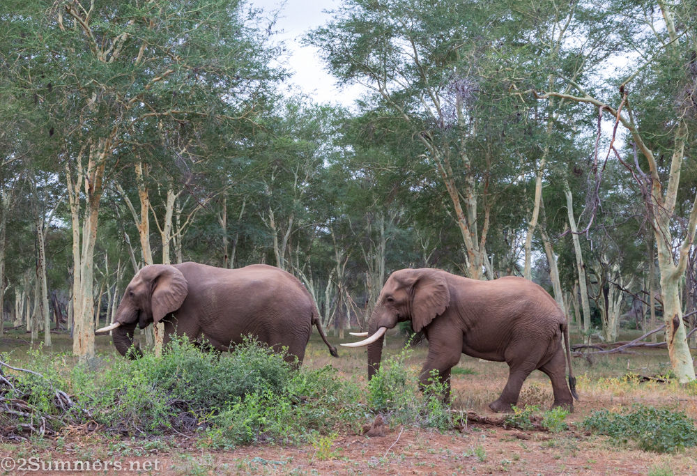 Elephants in fever tree forest