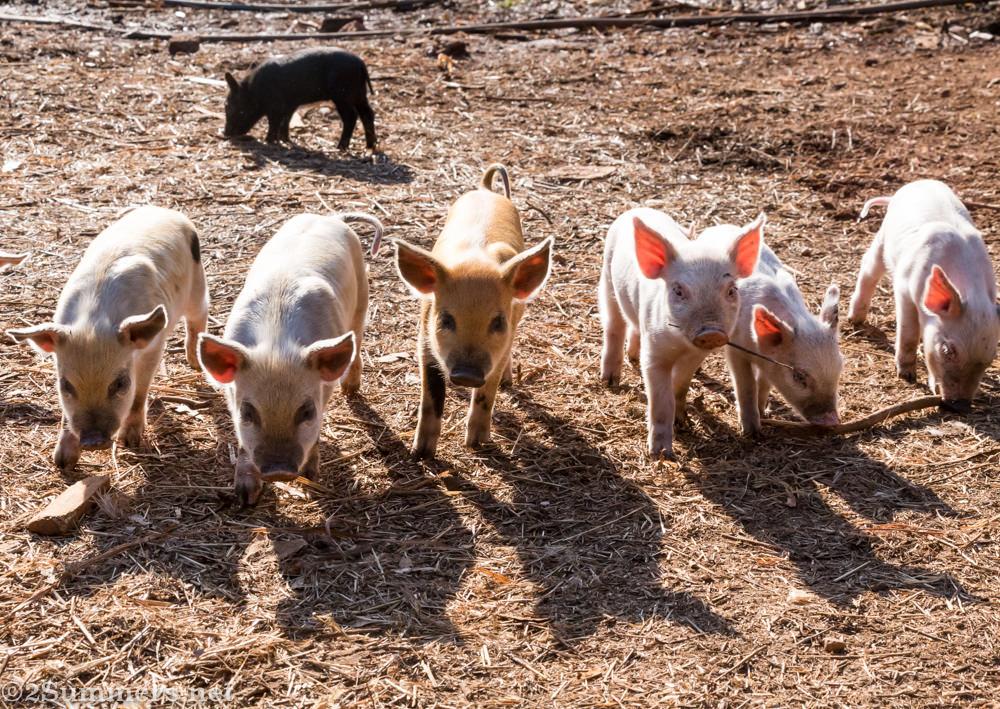 Piglets piglets piglets