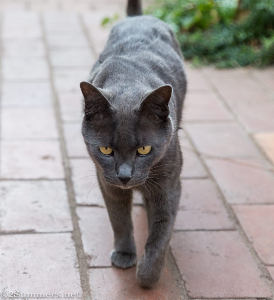 Smokey the Melville Cat, walking