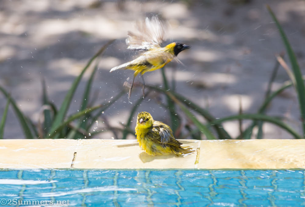 Birds in plunge pool at Azura Retreat