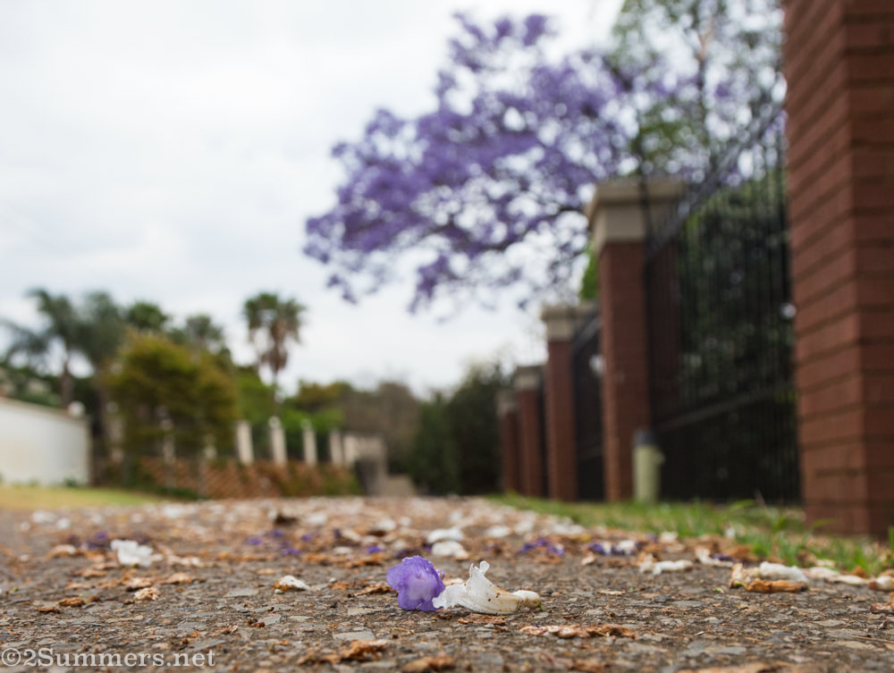 White and purple jacaranda blossoms