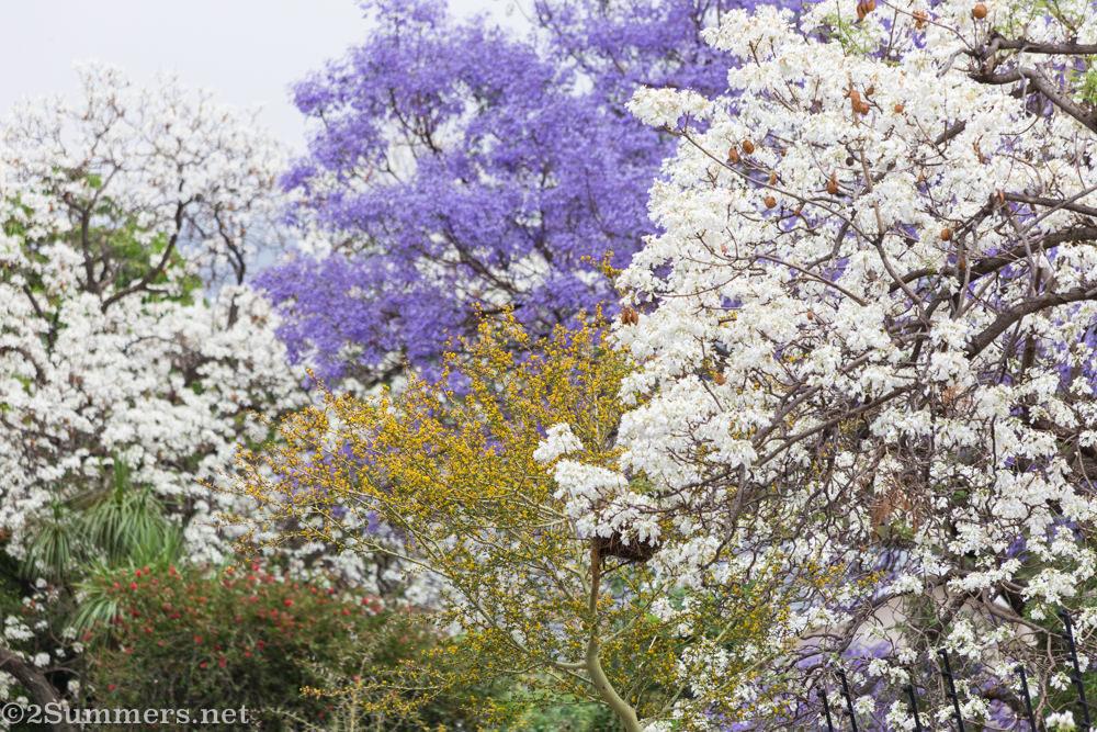 White and purple jacarandas on Herbert Baker Street