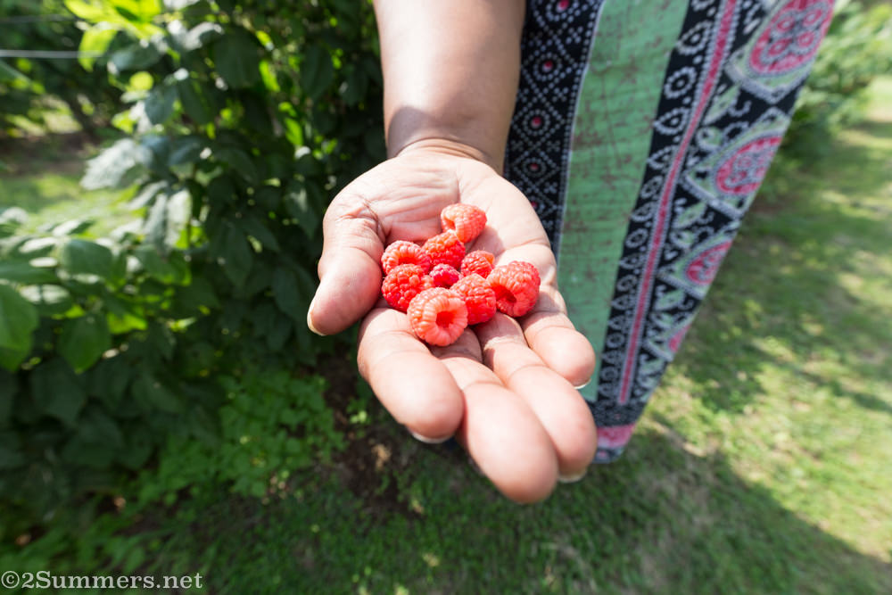 Lungi holds raspberries at Field Berry Farm