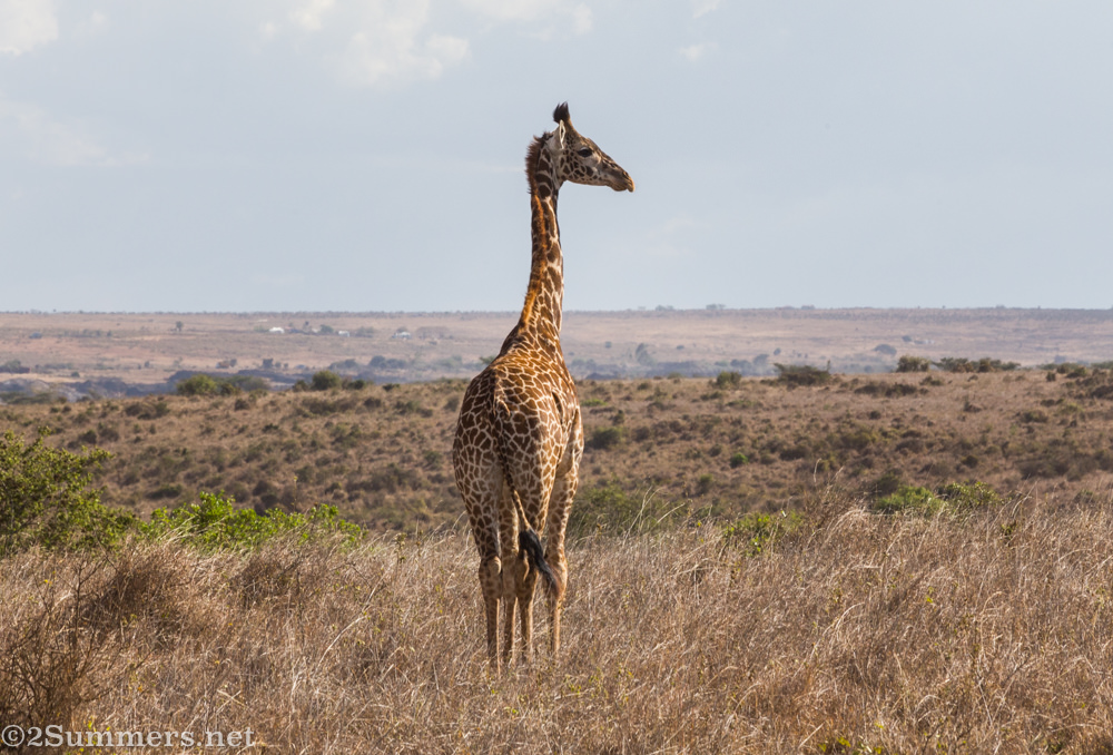 Giraffe in Nairobi National Park