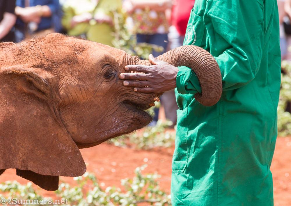Elephant orphan with caretaker at DSWT, Karen