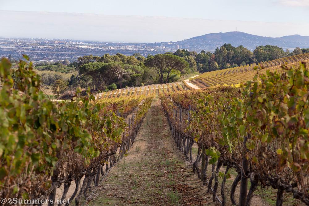Grape vines at Jordan