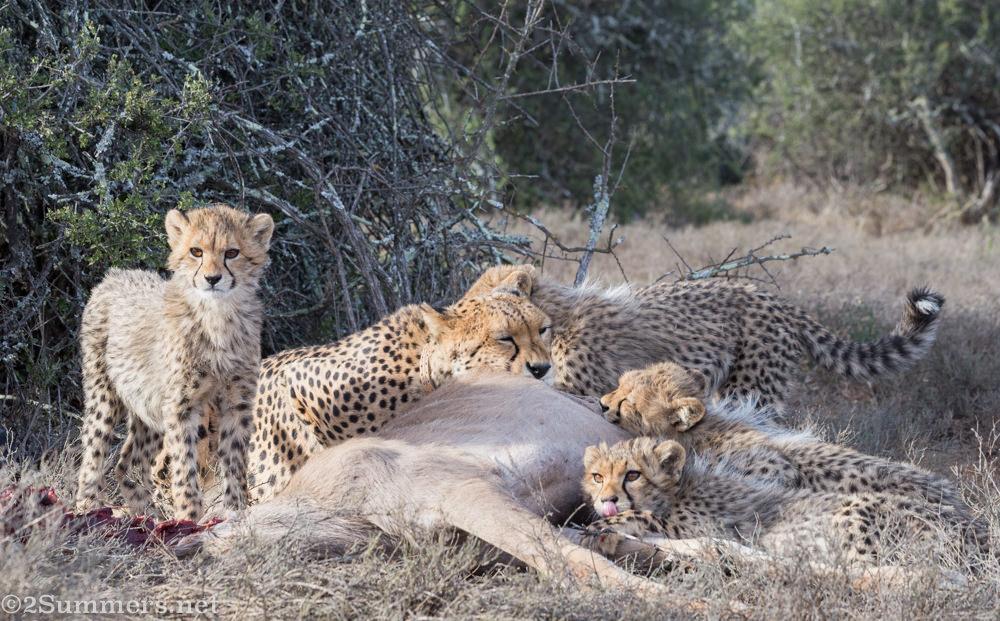 Cheetahs chowing