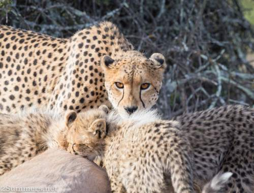 Cheetah family feeding