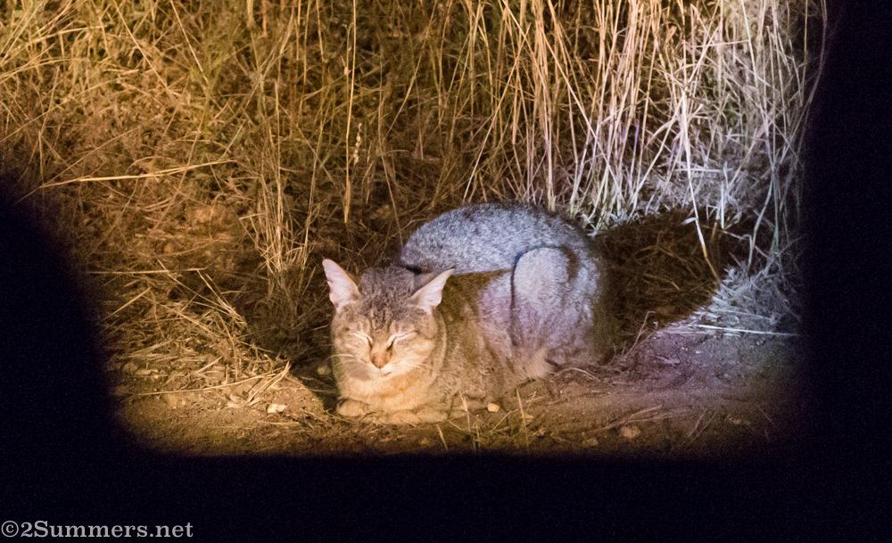 African wildcat in Kruger