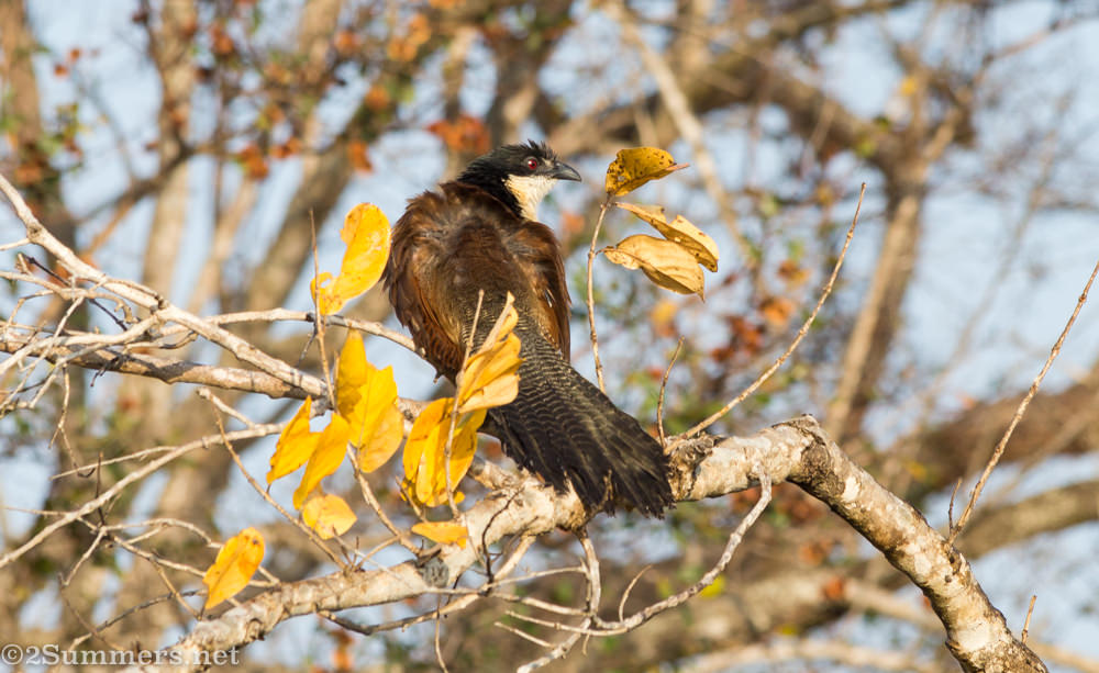 Burchells Coucal - birds of the Kruger