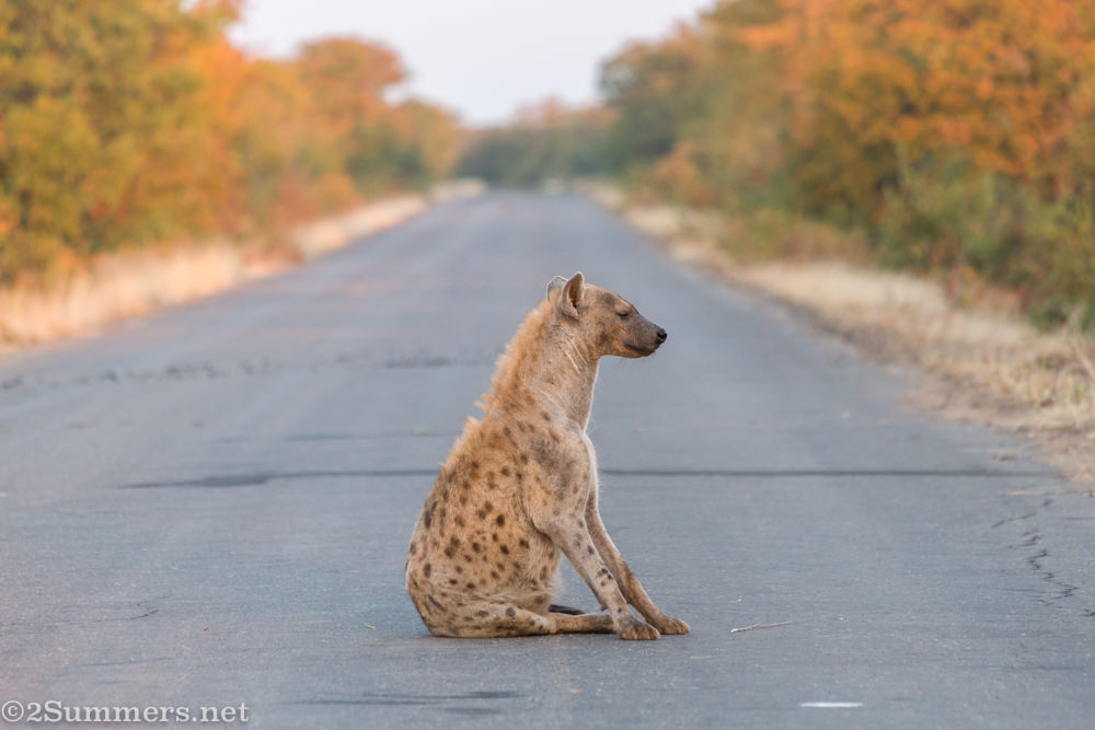 Mother hyena in the road