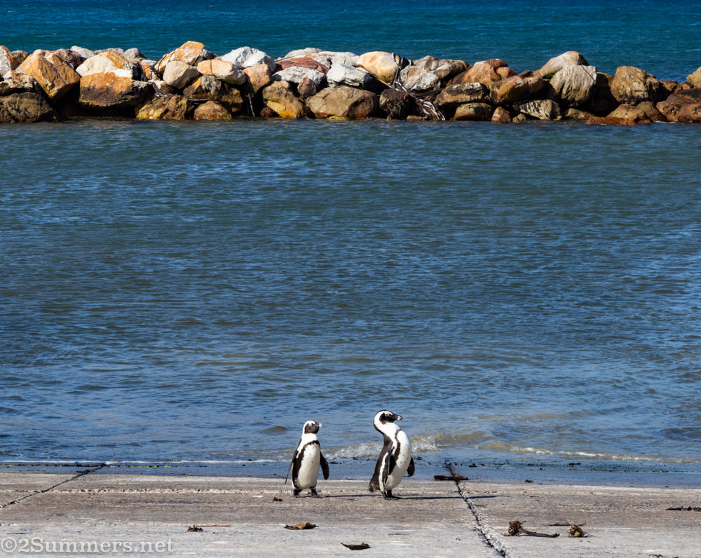 Penguin couple at Stony Point Nature Reserve in Betty's Bay.