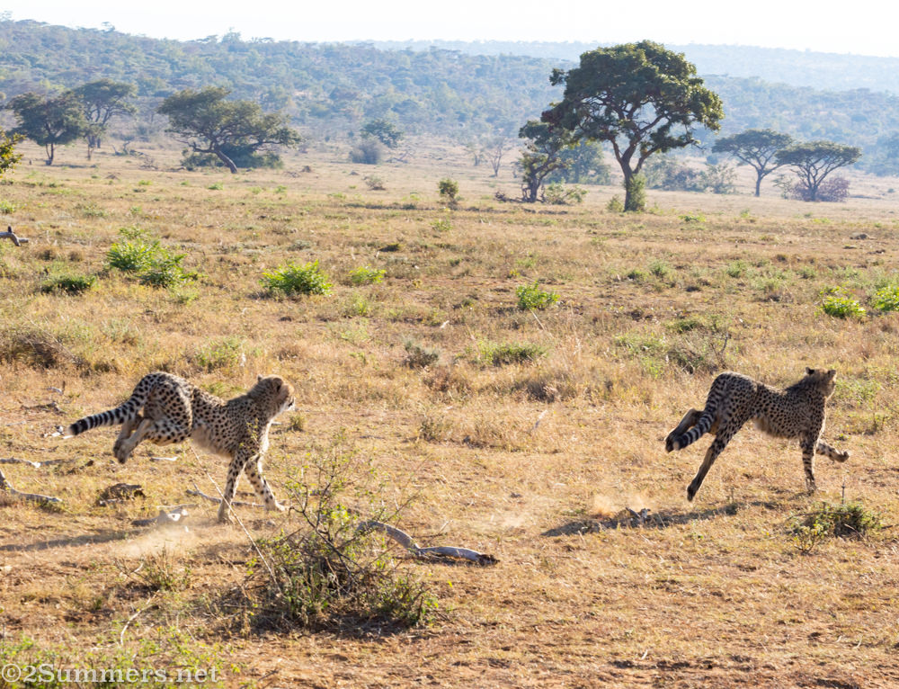 Cheetah cubs on the hunt