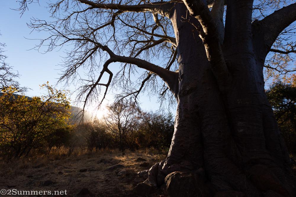 Baobab tree at Madi a Thavha Lodge in northern Limpopo